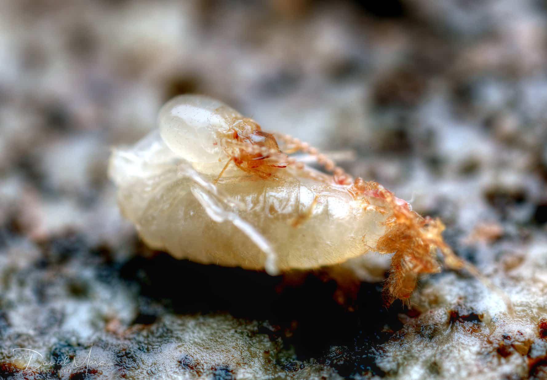 muda de termita
