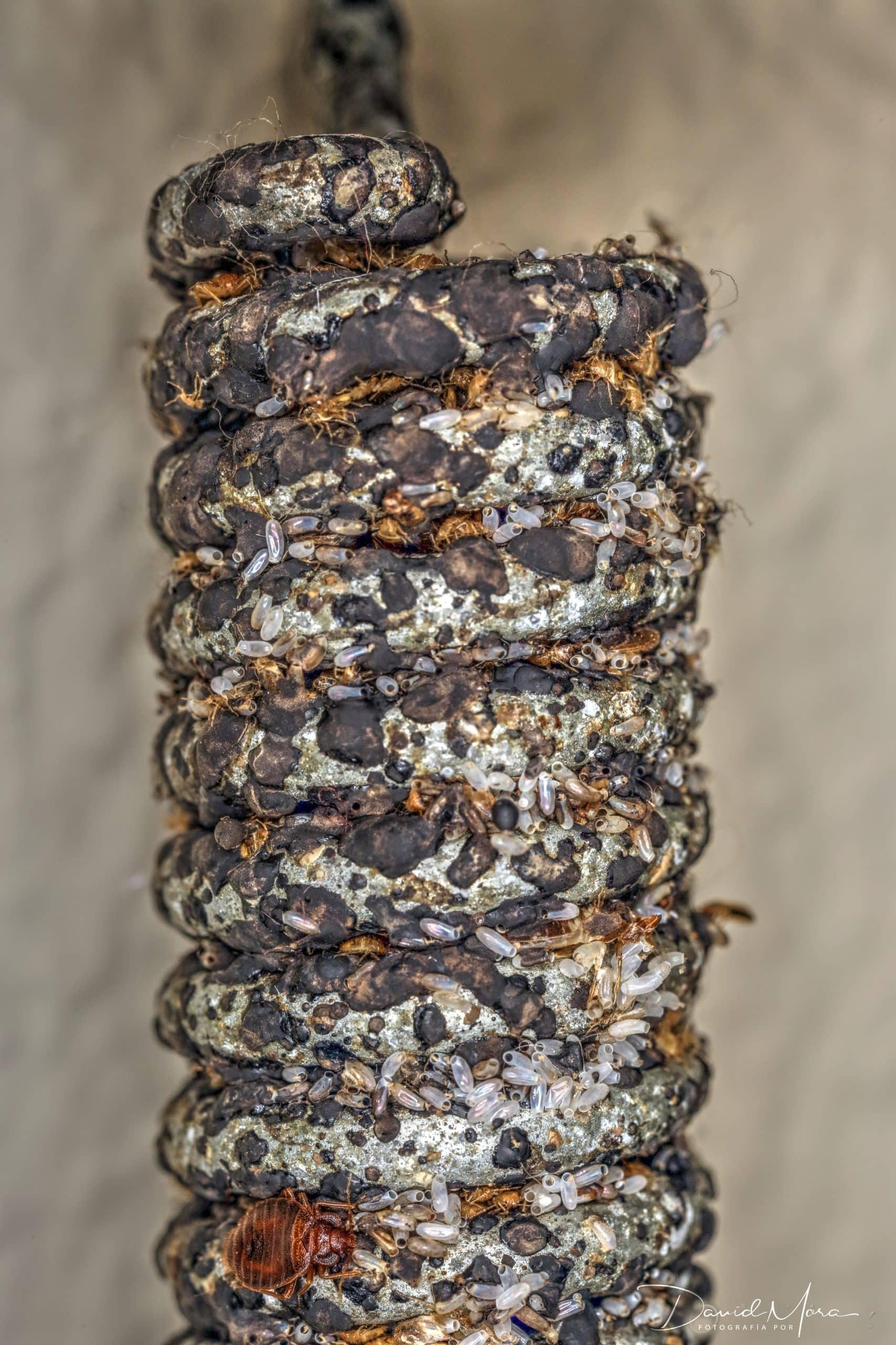 Chinches (adultos, ninfas y huevos) en muelle de una cama