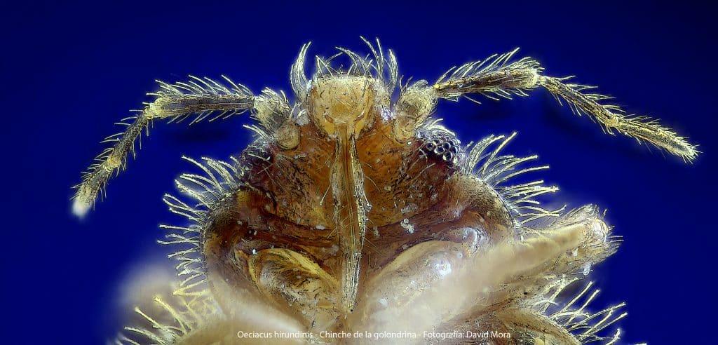 Oeciacus hirundinis