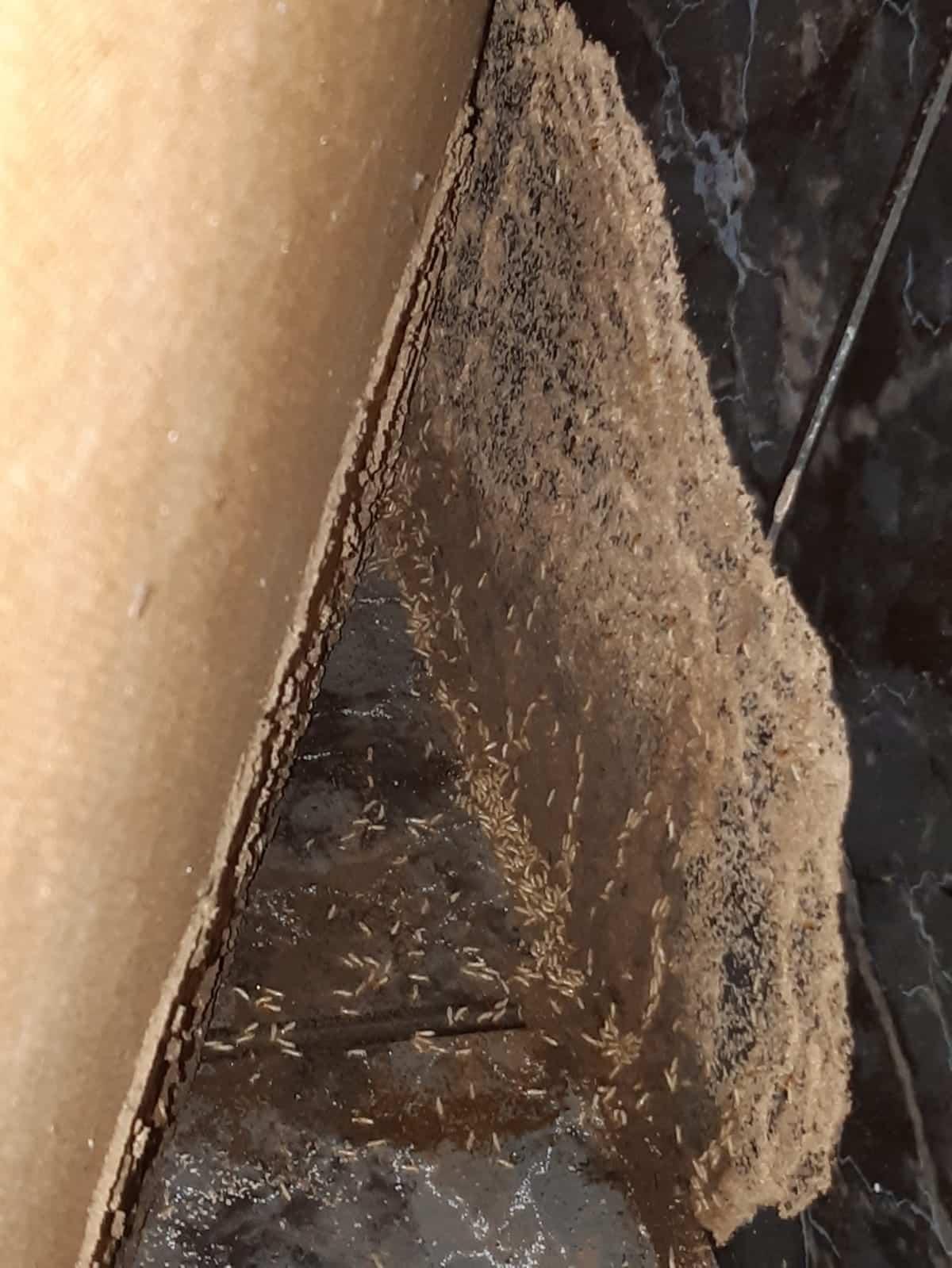 Termitas devorando suelo de madera