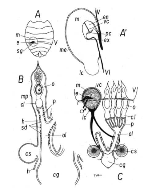 Fig. 5 – Representación diagramática del sistema paragenital y de la inseminación extragenital en Cimex lectularius (basado en Carayon 1966, 1970).