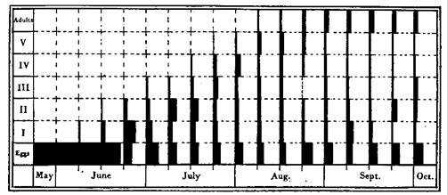Figura 32. Esquema hipotético de crecimiento de la población en una habitación similar a la del 50 Oakworth Road. Las áreas negras representan las proporciones de los distintos etadios, como porcentajes de la progenie total. Abscisa para cada semana representa el 100%. Ver Tablas 54, 55 y 56.