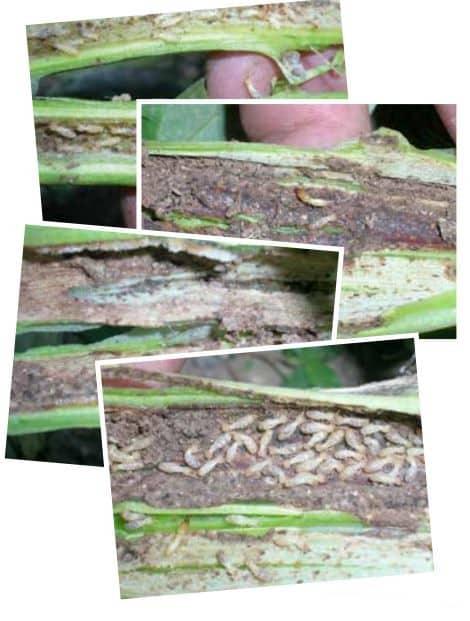 habas-termitas