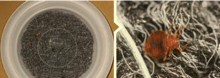 Foto 2. Configuración utilizada para simular una exposición breve a la alfombra tratada. Las chinches de cama fueron soltadas encima de un cristal de reloj en el centro y quitadas después que se arrastraron hasta el borde de la alfombra tratada.
