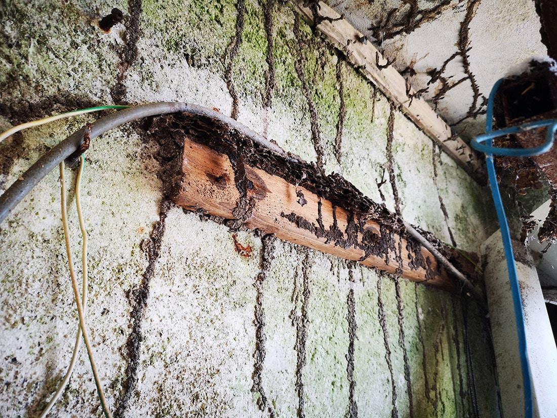 Vivienda tomada por las termitas, canales de progresión a través de los cuales alcanzan nuevas fuentes de alimento.