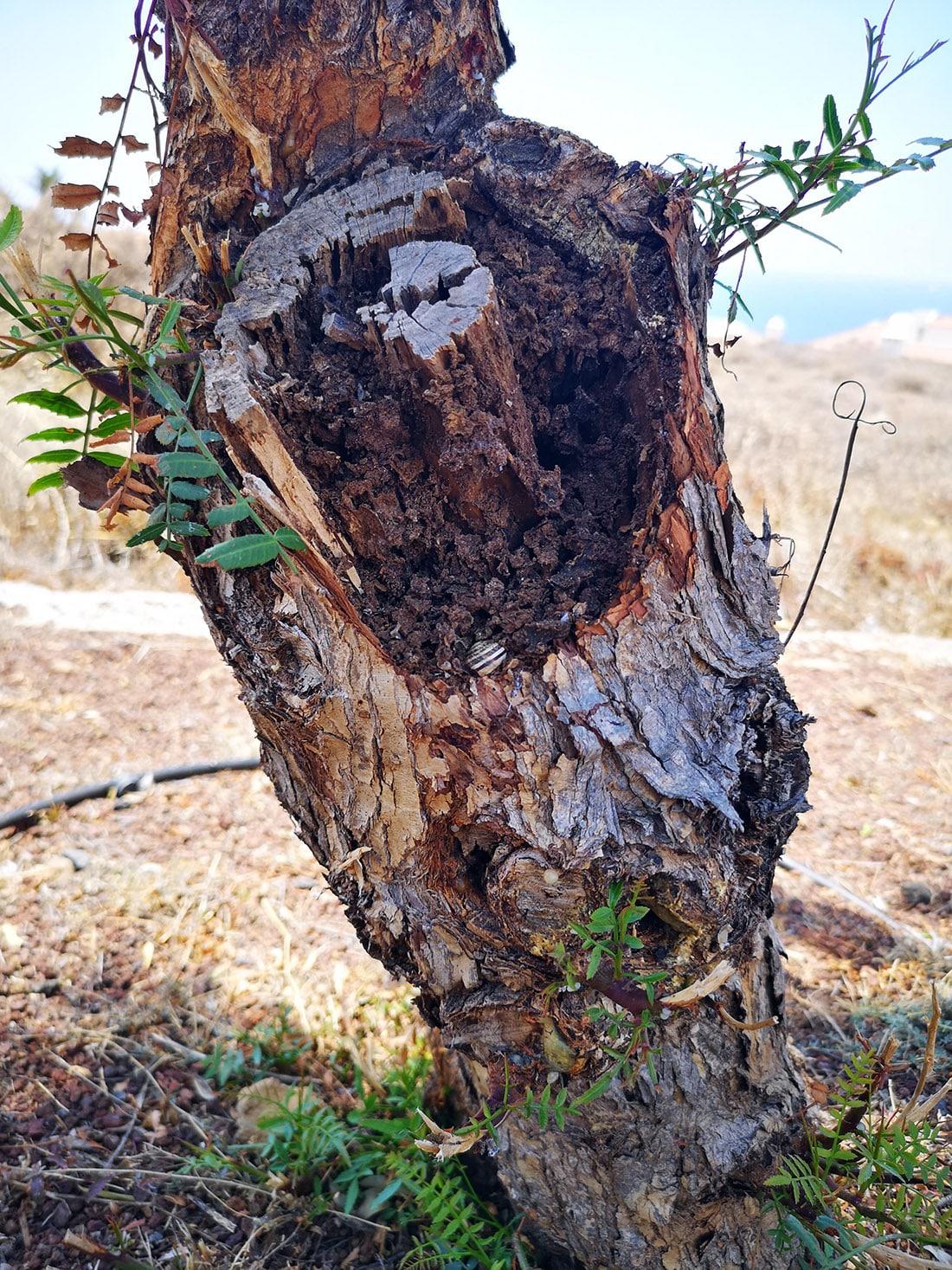 Ejemplo de un árbol afectado por la plaga.