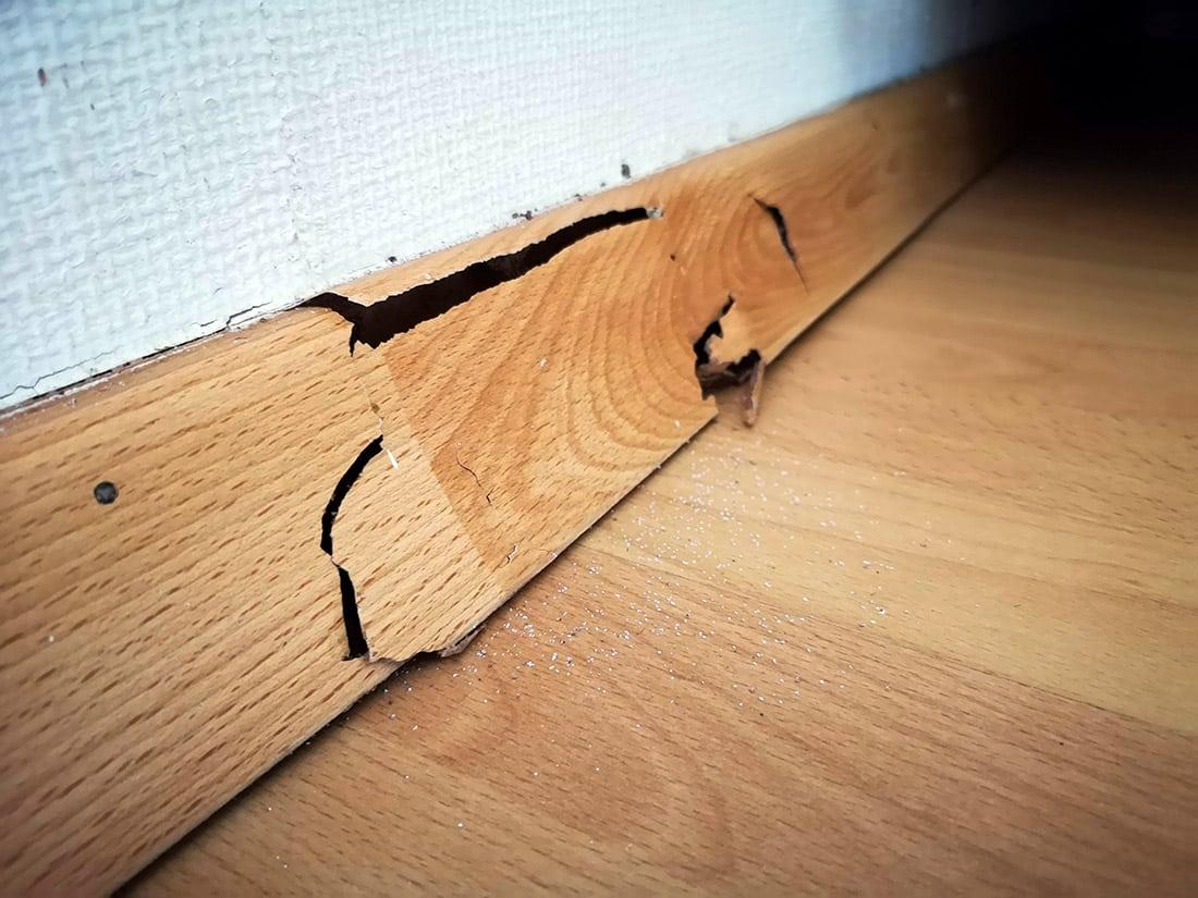 Daños en rodapies de DM, por lo que no atacan solo a la madera. Cualquier elemento con contenido celulosico es susceptible de poder ser atacado.
