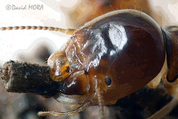 Anacnathotermes Ocraceus