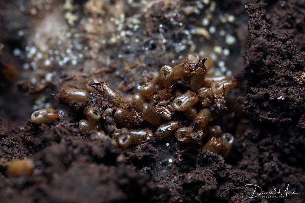 efecto sobre termitas del hexaflumuron
