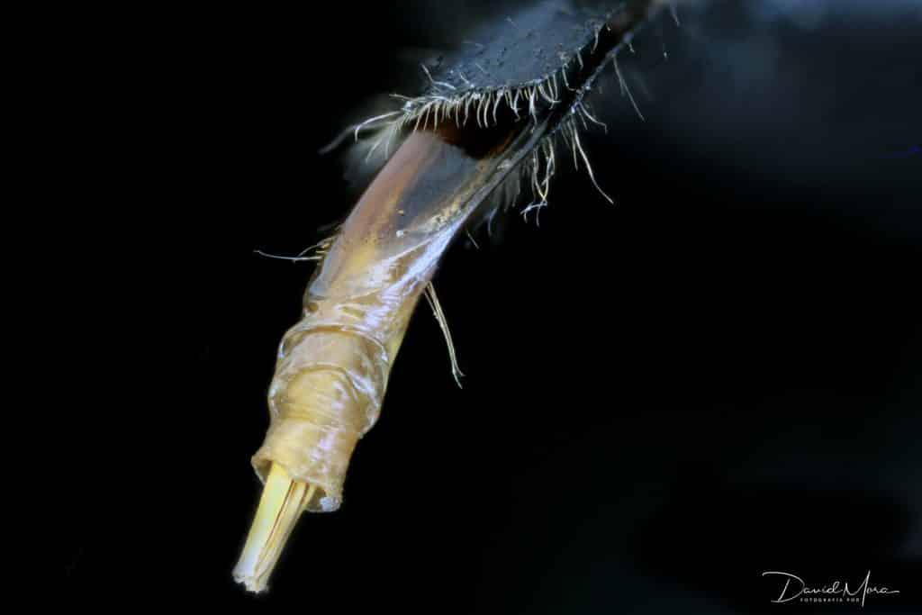 La hembra de la carcoma grande (Hylotrupes bajulus) deposita sus huevos (de 60 a 100) en ranuras o grietas de la madera a través de su oviscapto.