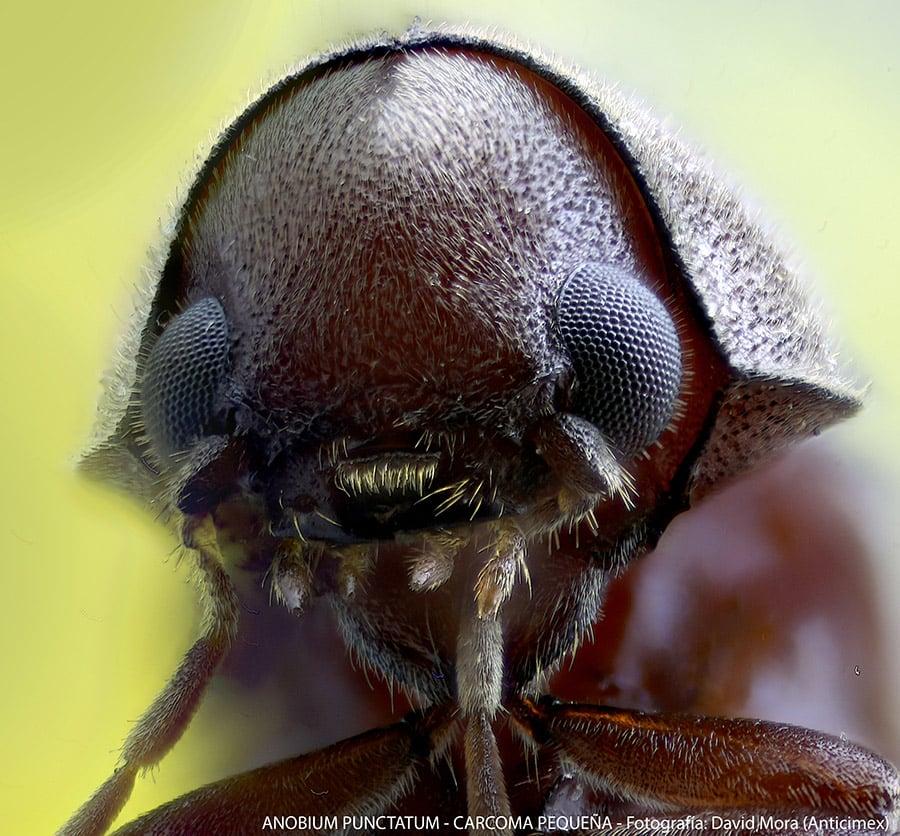 diferencia-termita-carcoma