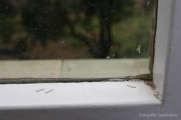 ellas… alas de termitas subterráneas junto a la ventana. de un piso en Barcelona