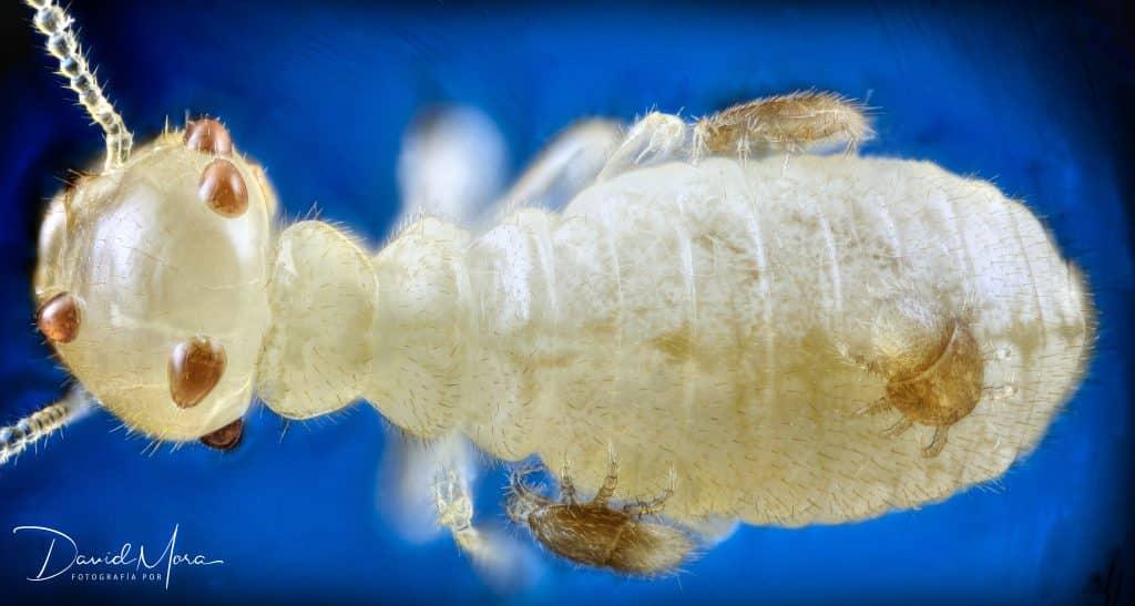 Reticulitermes flavipes