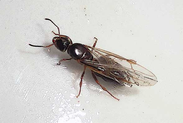 Hormiga con alas, NO es una termita voladora