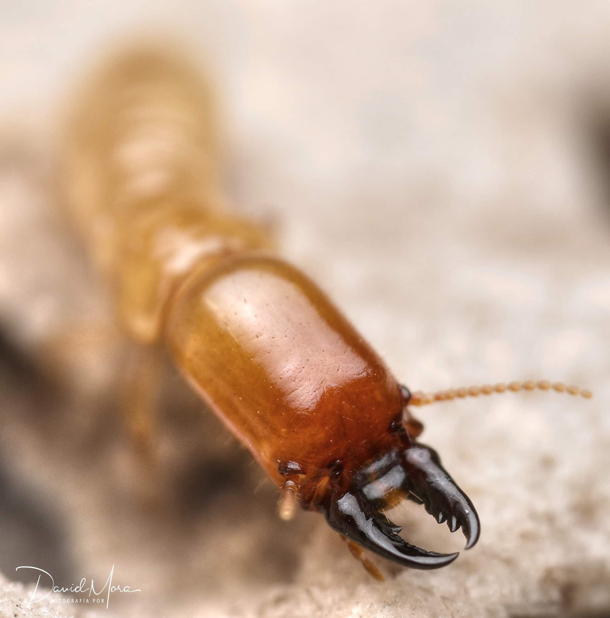 termita soldado de Kalotermes