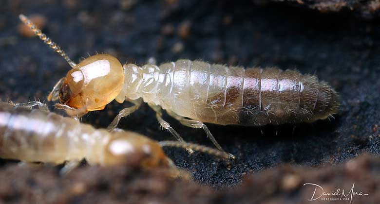 Microcerotermes sp en Melilla