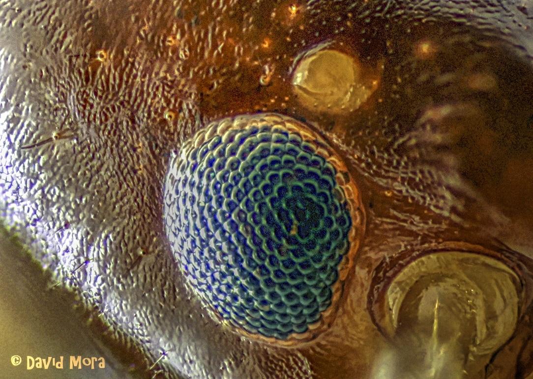 Detalle del ojo de una termita reina de Kalotermes flavícollis