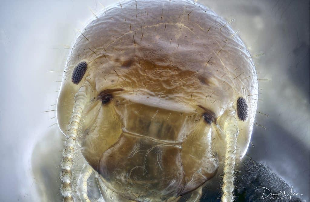Anacanthotermes ochraceus
