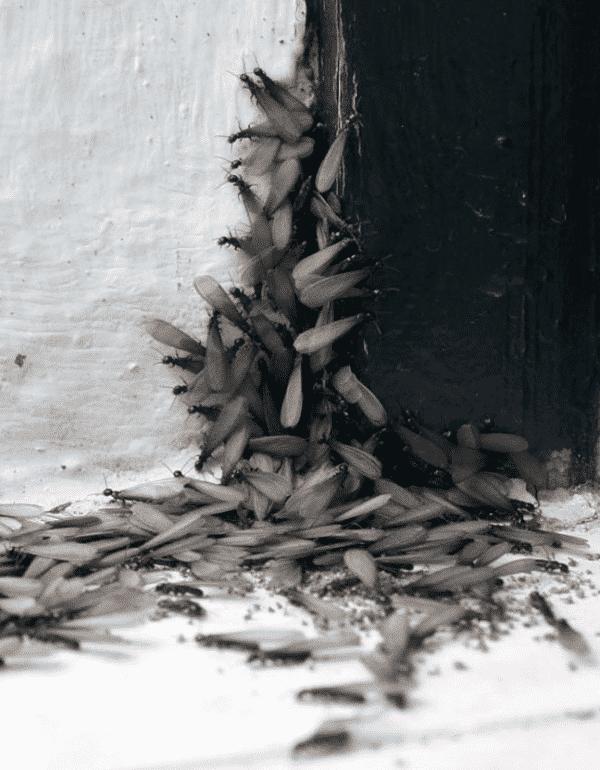 termitas aladas