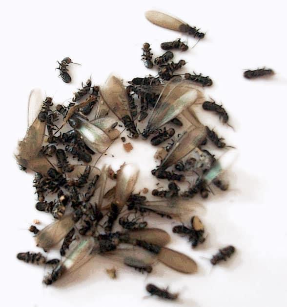 termitas aladas de Reticulitermes (termitas subterráneas)