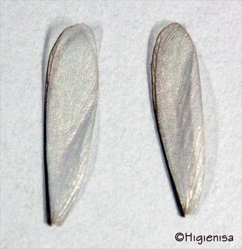 alas de Cryptotermes - viernes, 08 de julio de 2011 - Foto realizada por Higienisa