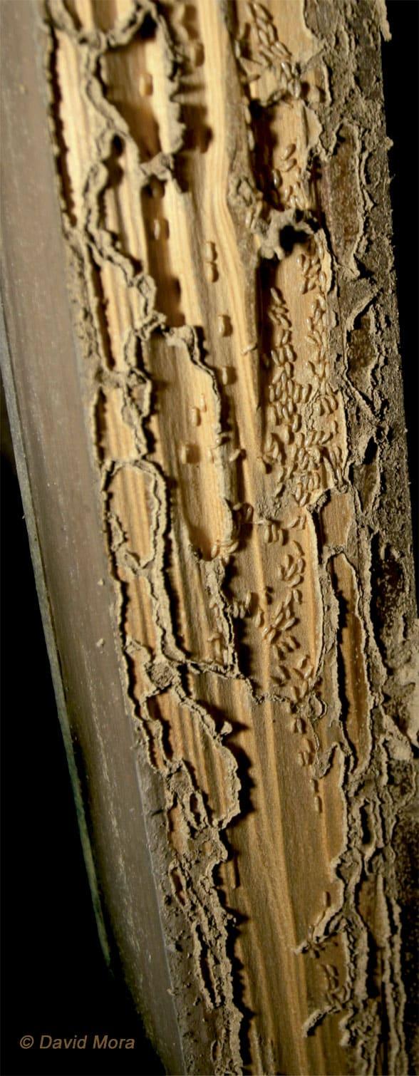 termitas obreras en el premarco de una puerta