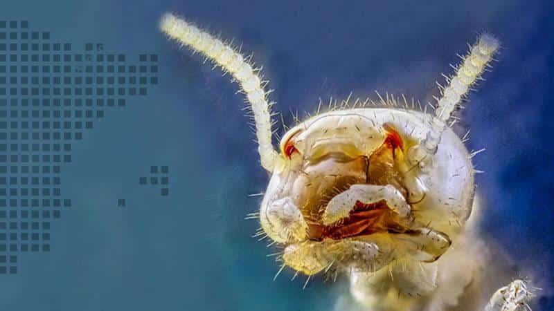 Reticulitermes flavipes, especie de termita invasora en Tenerife
