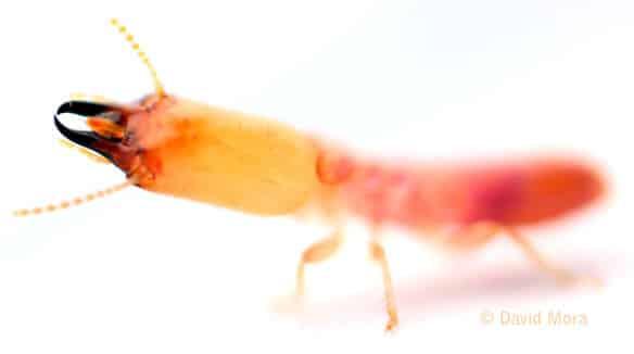 soldado de termitas subterráneas