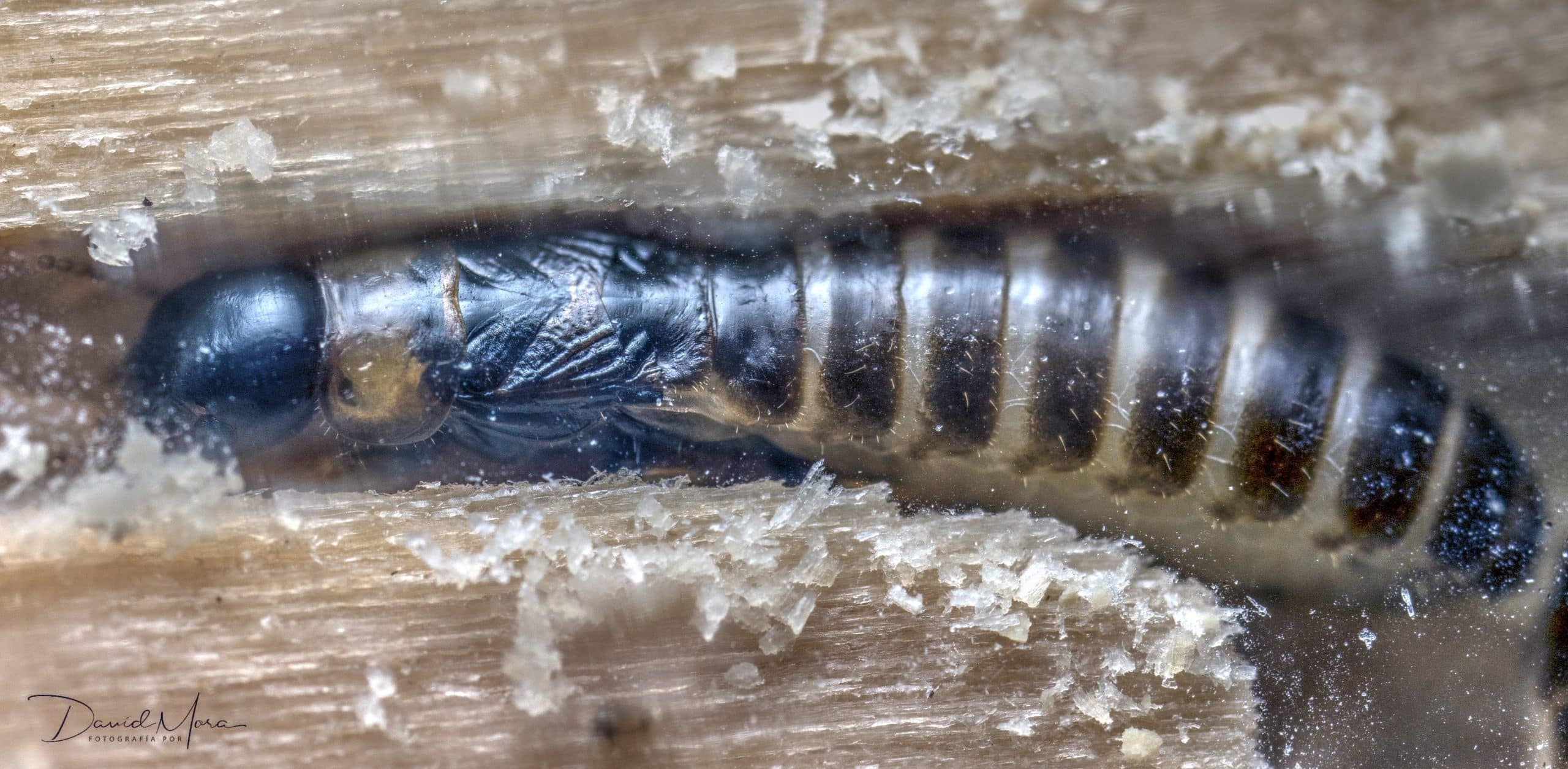 termita reina