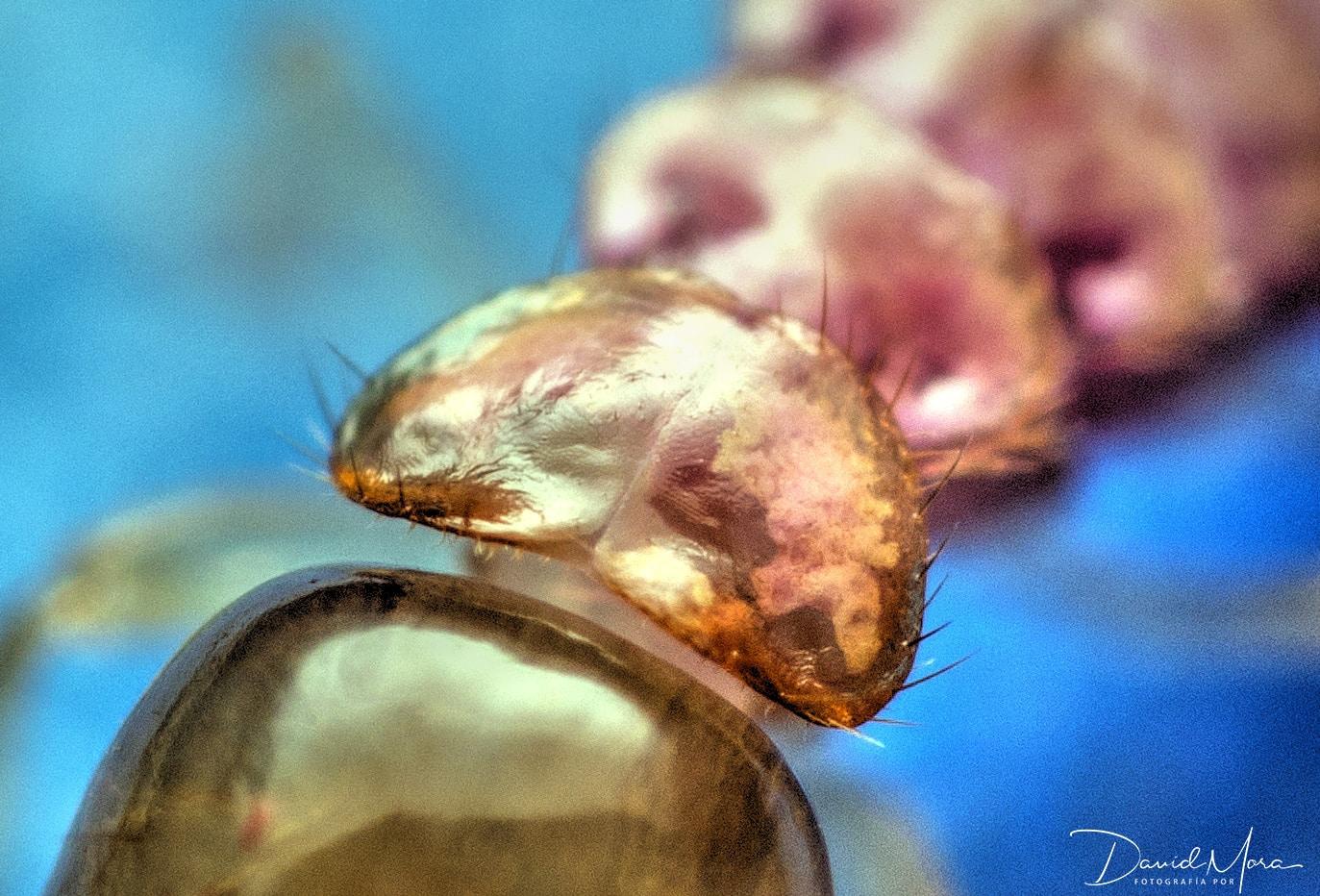 pronoto de termita soldado