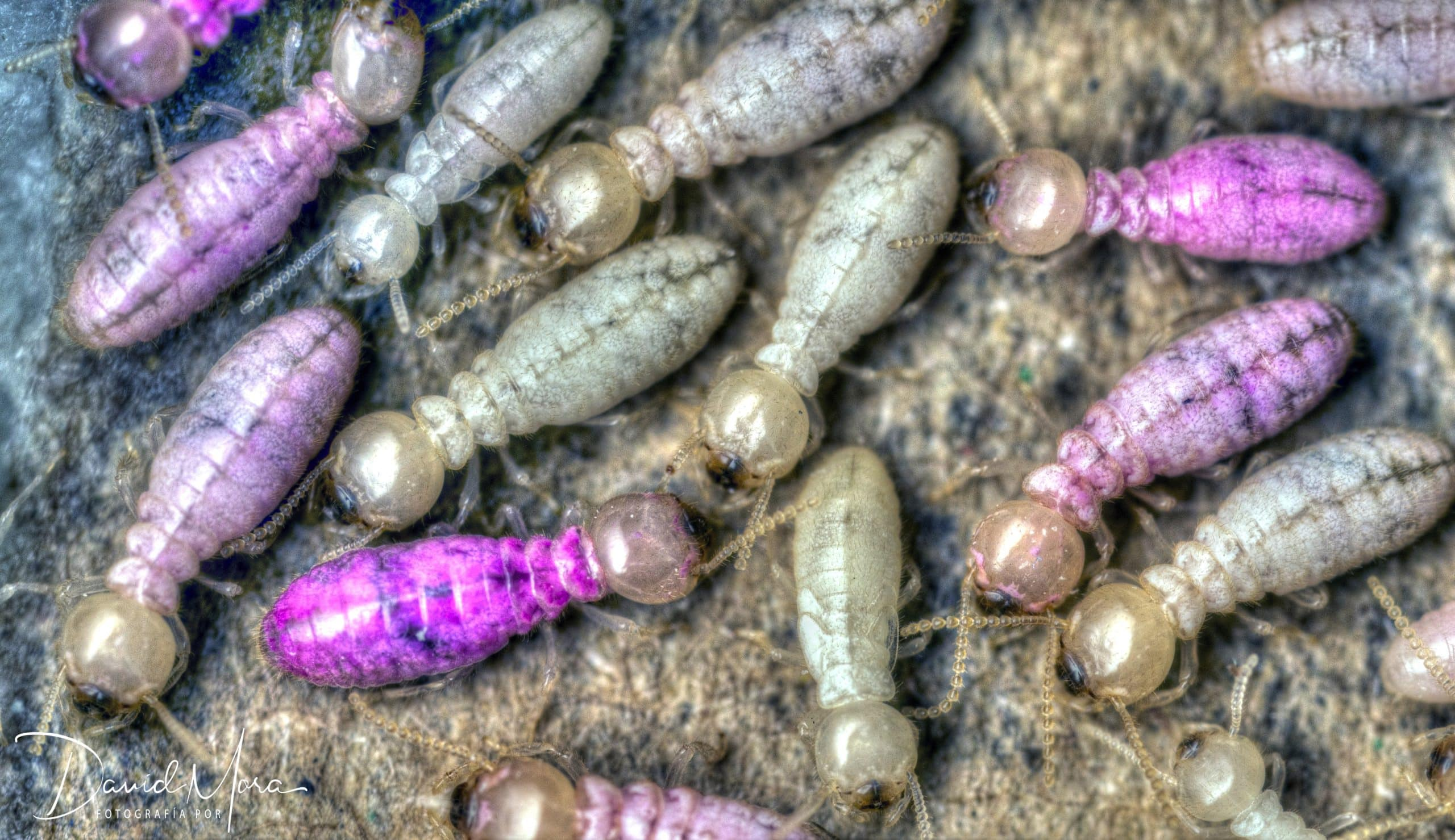 termita bajo el efecto de los cebos